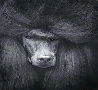 black-poodle-beyond-coat-madra