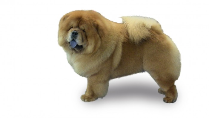 pawlosky-chow-white-background
