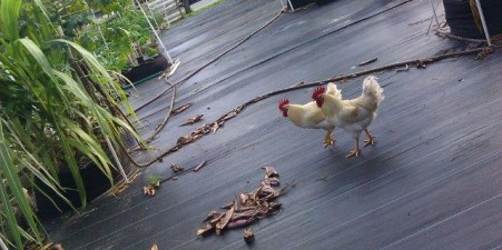 Chickens in urban and backyard settings are part of the teaching farm.