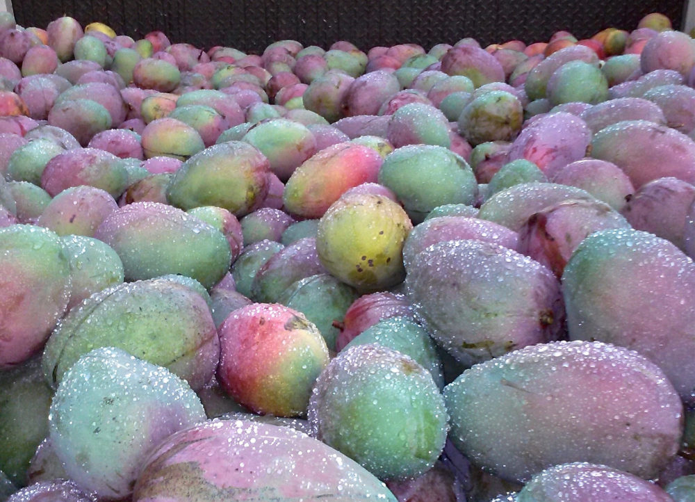 Donate your Extra Mangoes to Mangoes for Charity