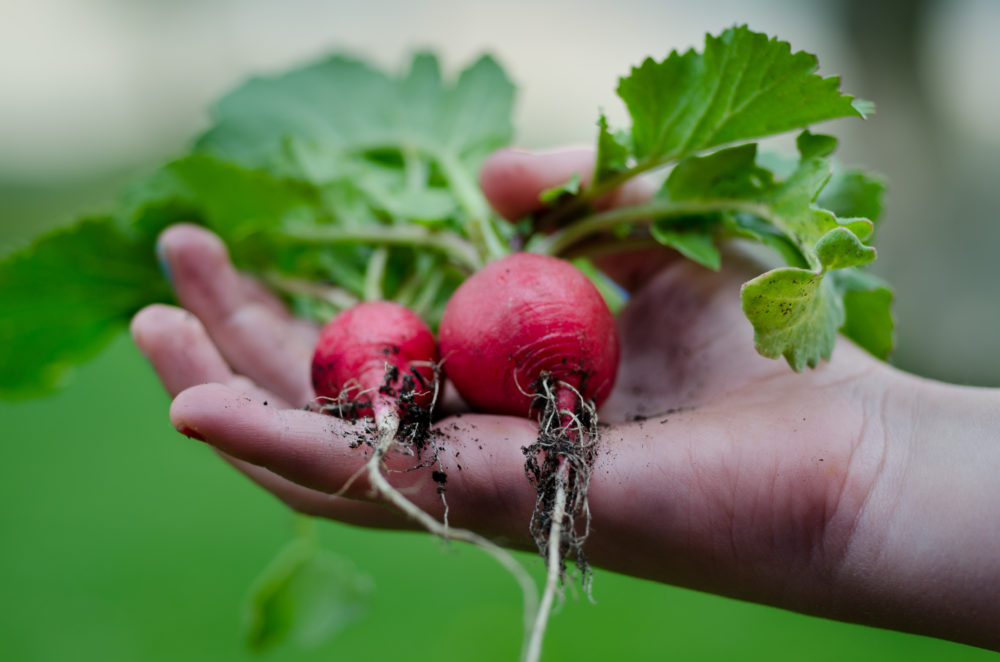 radishes gardening classes