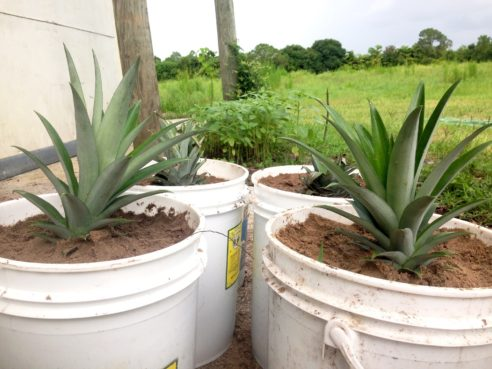 lavallee-wormfarm-pineapple-potted-1