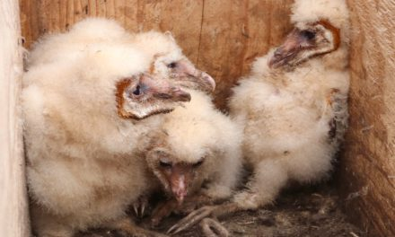 SUBSIDENCE POST, BARN-OWL CHICKS ARE BIG HITS AT EREC OPEN HOUSE