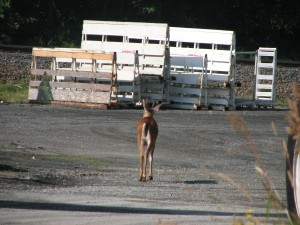 Deer can't get a meal in Everett, heads back to the woods