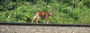 deer heads for greener pastures