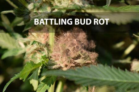 gray fungus bud rot botrytis on cannabis flower