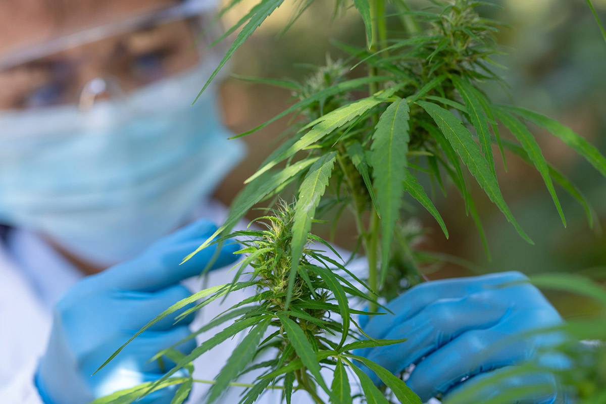 Person checking cannabis for powdery mildew, bud rot and other contaminants.
