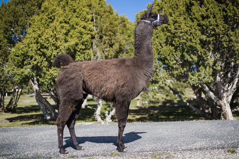 Butch - Breeding and Pack Llamas