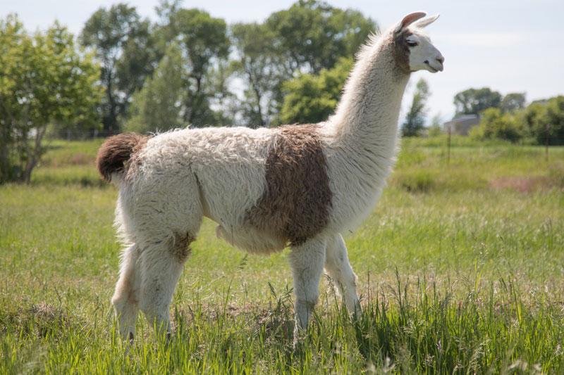 Hugo Breeding Pack Llama - WRTL