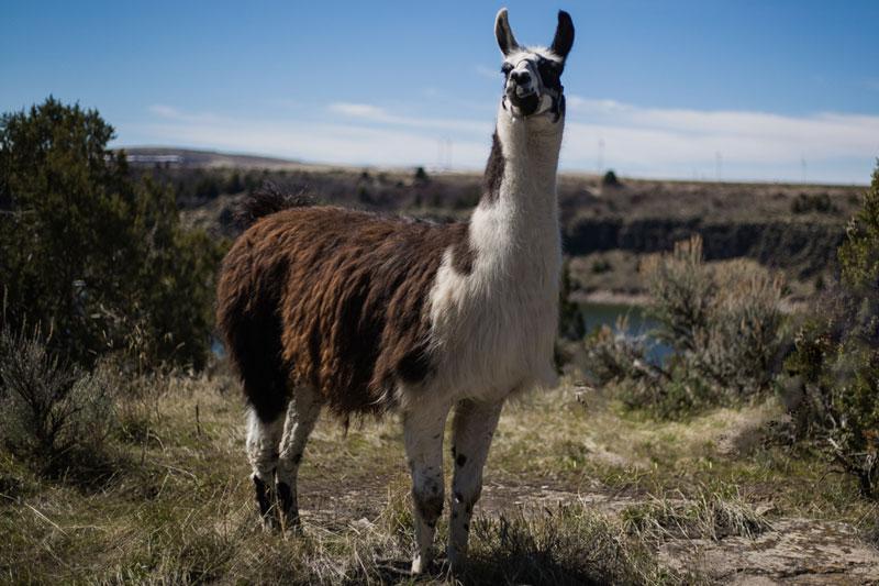 Jimmy-Big-Time Breeding Llama