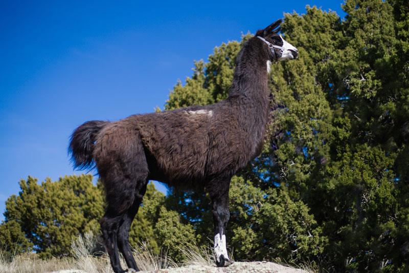 Maverick Llama