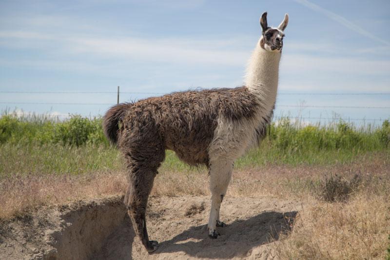Milo Stud Breeding Llama