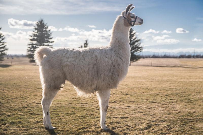 Paxton - WRTL Llamas