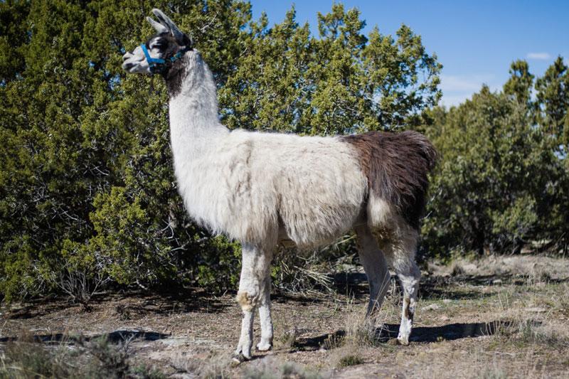 Whondo - Breeding Llama