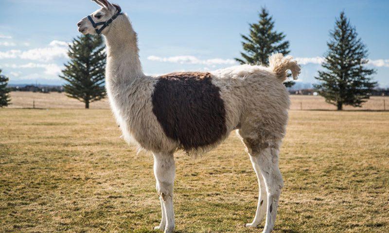 Winchester - Wilderness Ridge Trail Llamas
