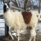 Gunsmoke Llama Stud