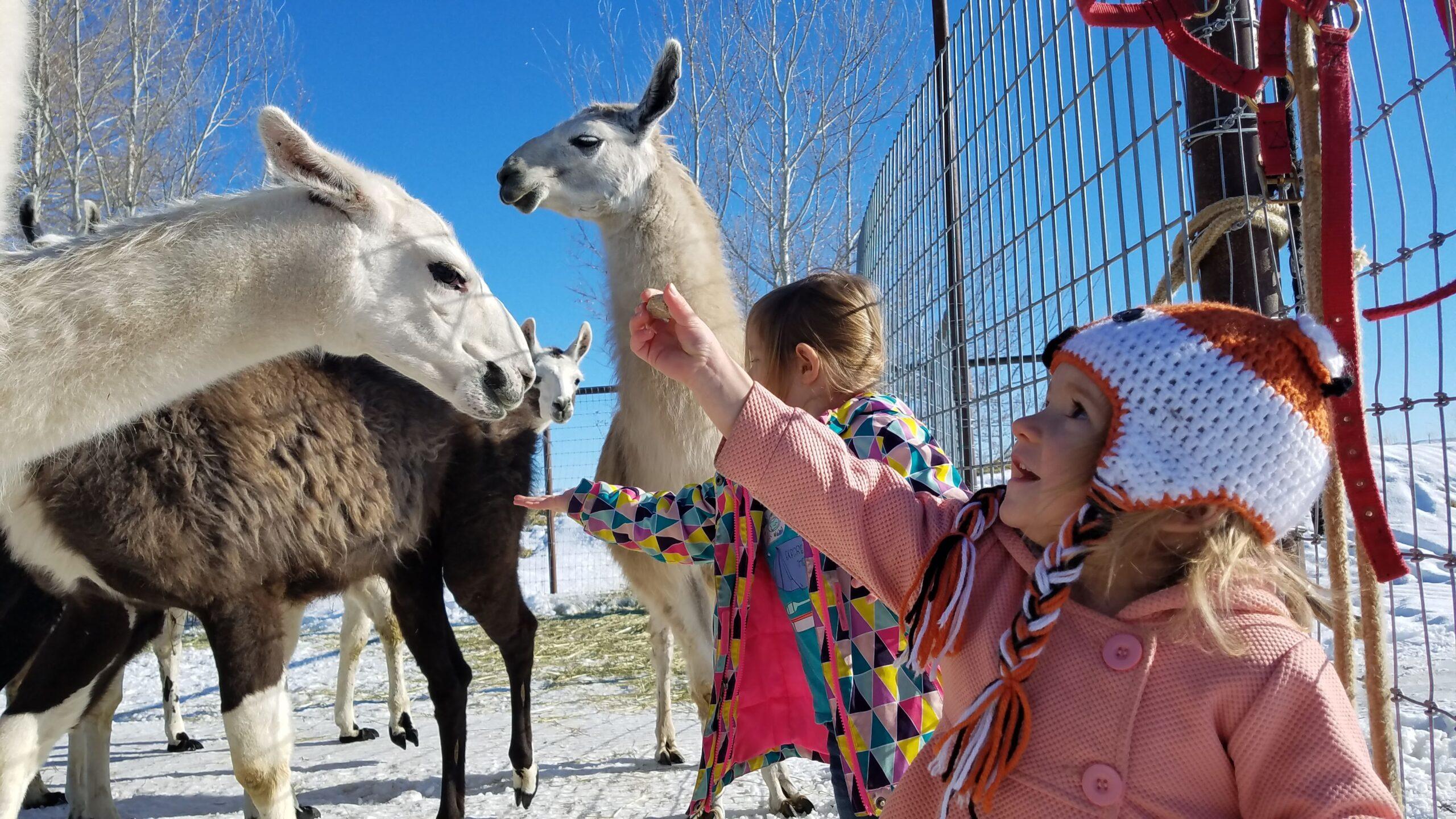 The Mini-Venture Llama Tour