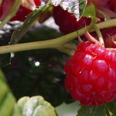 Raspberry Scones with White Chocolate