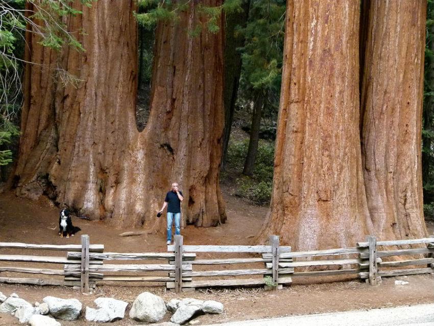 sequoia-trees-sm