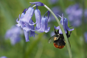 Bluebell Bee by Jillyspoon / Flickr Creative Commons