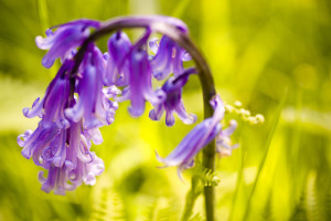 Bending Bluebells, Taken during a wood walk in Wenchford, Forest of Dean by Stuart Richards / Flickr Creative Commons