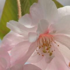 The Spectacular Weeping Sakura Tree at Rikugien