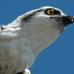 Florida Birds : An Osprey's Catch