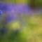 Ring in the Spring – Woodland Bluebells