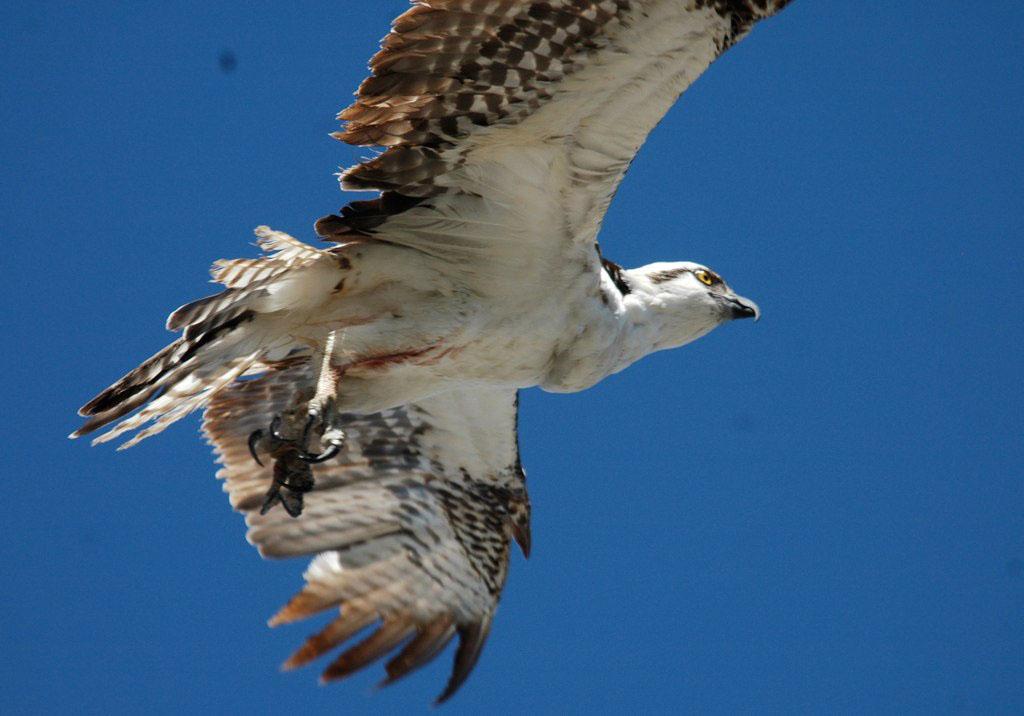 An osprey drops by the neighborhood. - 16