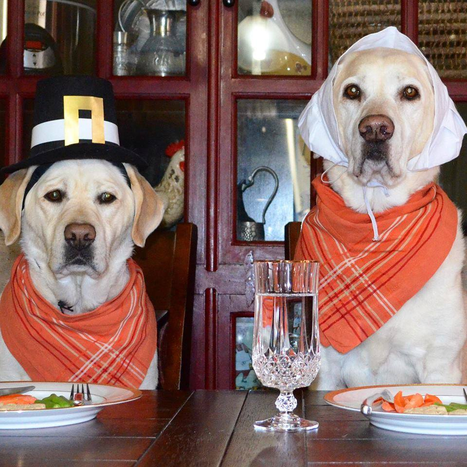 thanksgiving labradors