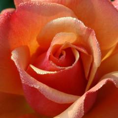 Timeless Valentine Roses