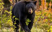 BEAR HUNTING