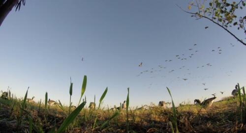 geese-blue-sky