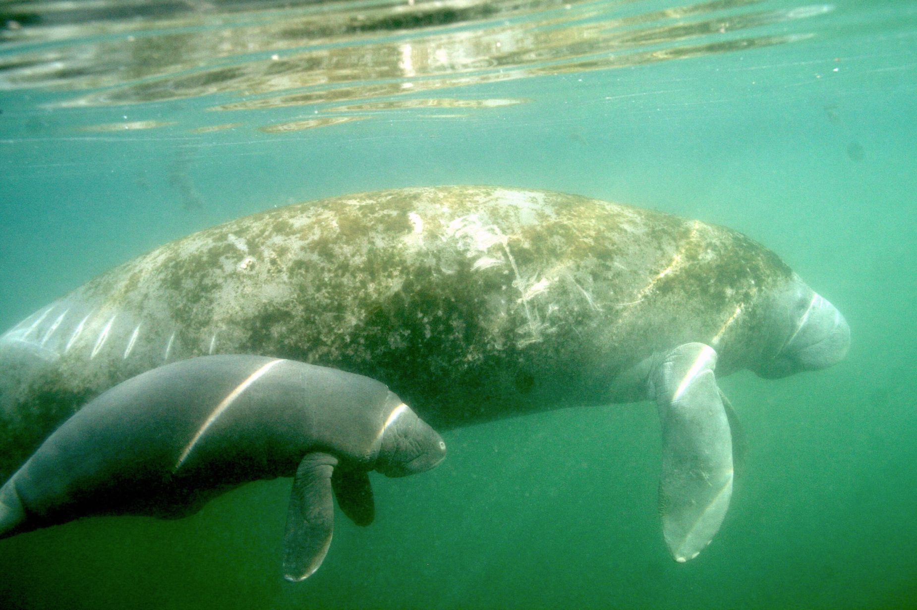 Manatees Three Sisters Crystal RIver
