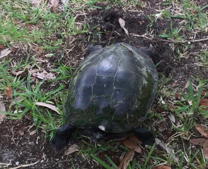 Female turtle after egg laying