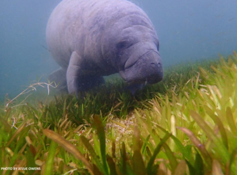Manatee leaning over eelgrass Crystal River