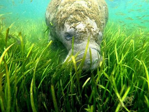 After: Healthy eel grass thriving and feeding happy manatees Credit: Bree Lajoie/Fun2Dive
