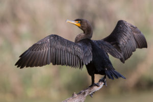 This cormorant picture, used on Walker on the Water, displays how similar cormorants and anhingas look while drying their wings.
