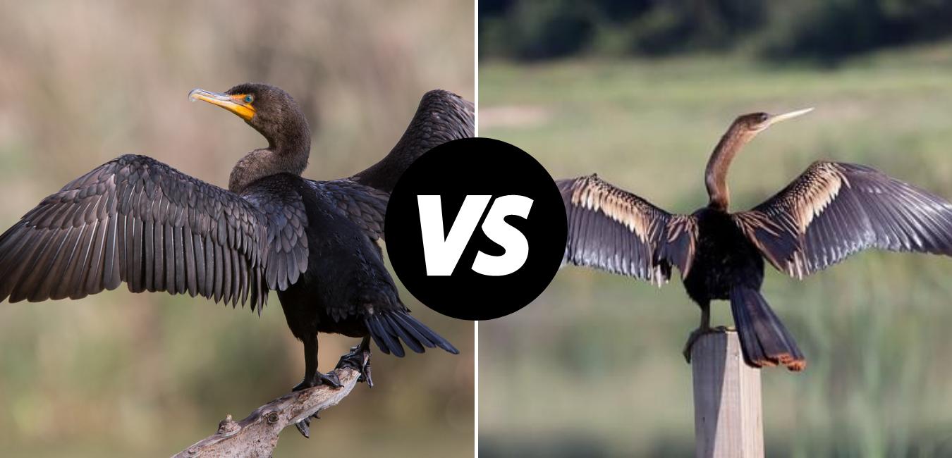 Cormorants vs. Anhingas On Crystal River