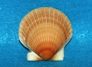 This image on Walker on the Water depicts an orange bay scallop.