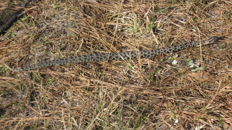 This image on Walker on the Water shows the black and grey patterned pygmy rattlesnake.