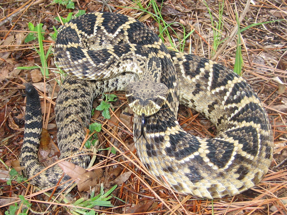 This image on Walker on the Water depicts a black, brown, and white diamondback rattlesnake with diamonds along its back.
