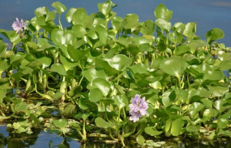 This image on Walker on the Water depicts water hyacinth, which is a shiny, green leafed aquatic plant that grows on the water's surface. It has light purple flowers.