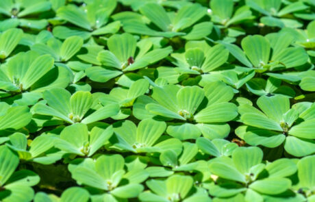 This image on Walker on the Water depicts water lettuce, which is a ridged, light green aquatic plant that grows on the surface of the water.
