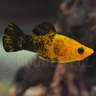 pez de acuario tropical llamado molly negro cara amarilla