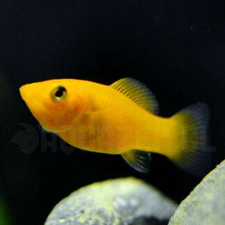 pez de acuario tropical llamado molly patito