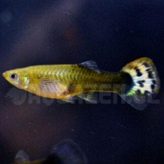 pez de acuario tropical guppy hembra
