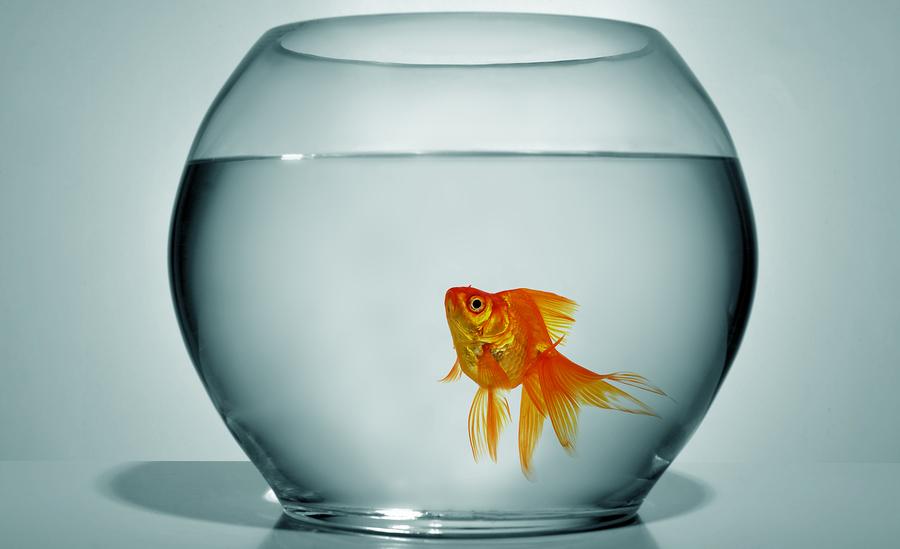 Goldfish Fishbowl