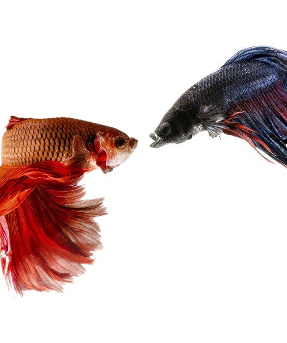 los peces betta son altamente agresivos