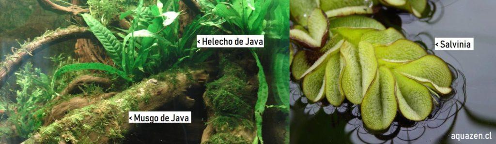 plantas acuáticas: musgo de java, helecho de java y salvinia.
